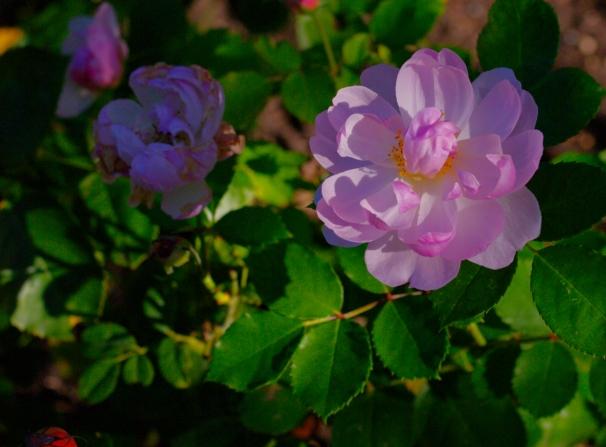 regents scarborough fair rose